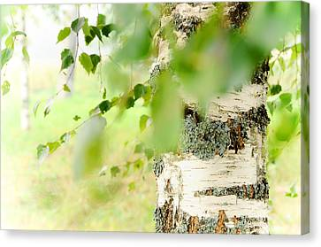 Birch Tree. The Soul Of Russian Nature Canvas Print by Jenny Rainbow