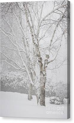 Birch Trees In Winter Canvas Print by Elena Elisseeva