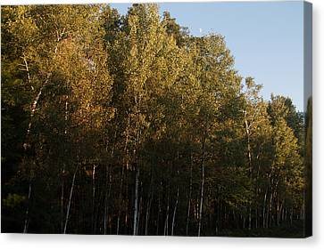 Birch Trees Canvas Print by Torkomian Photography
