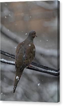 Bird In Snow - Animal - 01134 Canvas Print by DC Photographer