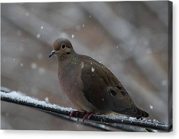 Bird In Snow - Animal - 01138 Canvas Print by DC Photographer