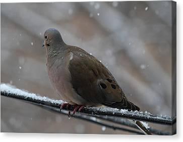 Bird In Snow - Animal - 01139 Canvas Print by DC Photographer