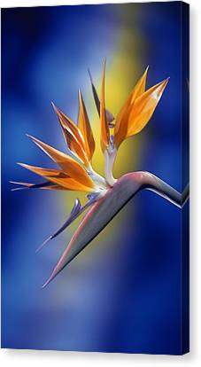 Bird Of Paradise Canvas Print by Kirk Ellison