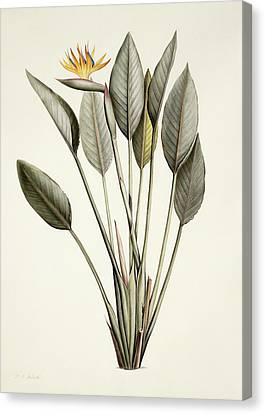 Bird Of Paradise Canvas Print by Pierre Joseph Redoute