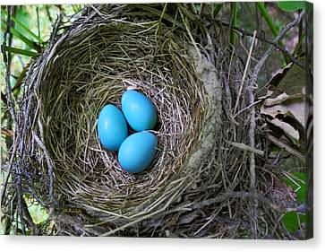 Birds Nest American Robin Canvas Print by Christina Rollo