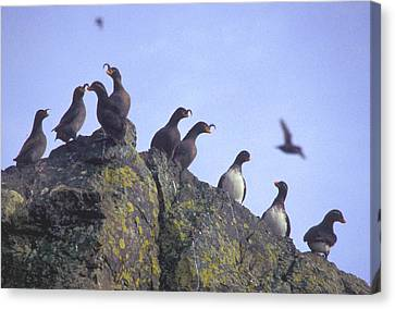 Birds On Rock Canvas Print by F Hughes