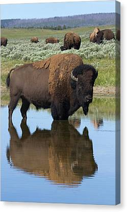 Bison Bull Reflecting Canvas Print by Ken Archer