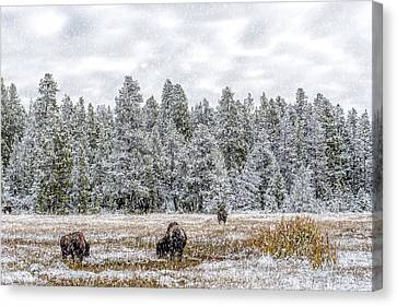 Bison Feeding In The Snow Canvas Print by Paul W Sharpe Aka Wizard of Wonders
