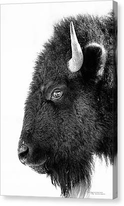Bison Formal Portrait Canvas Print by Dustin Abbott