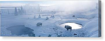 Bison West Thumb Geyser Basin Canvas Print by Panoramic Images