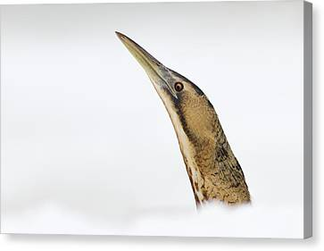 Bittern Times Canvas Print by Roeselien Raimond