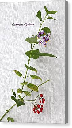 Bittersweet Nightshade Canvas Print by Angie Vogel