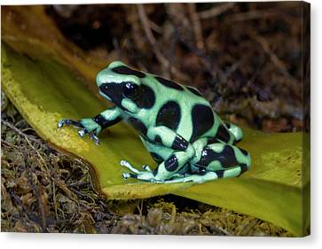 Black And Green Poison-dart Frog Canvas Print by Thomas Wiewandt
