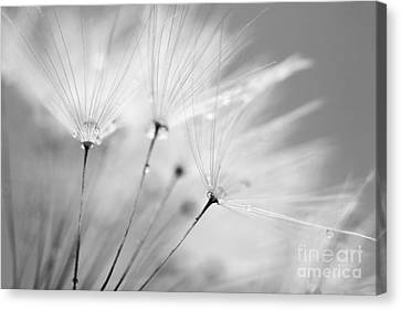 Black And White Dandelion And Water Droplets Canvas Print by Natalie Kinnear