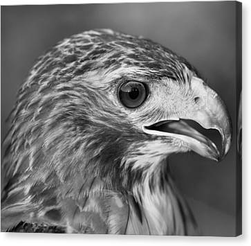 Black And White Hawk Portrait Canvas Print by Dan Sproul