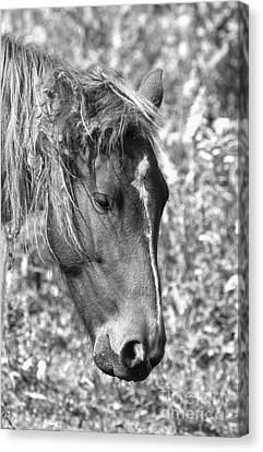Black And White Ocracoke Wild Pony Canvas Print by Adam Jewell