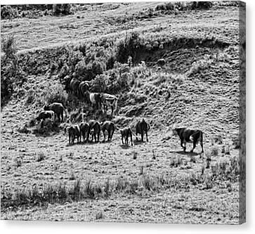 Black And White Photo Of Cows Grazing On Grass In Maine Canvas Print by Keith Webber Jr