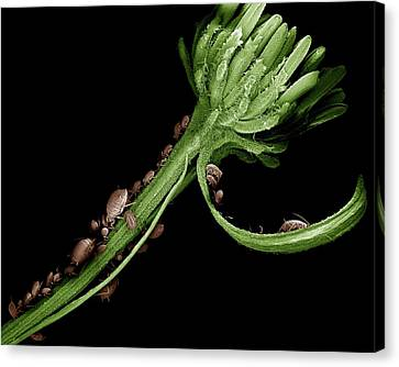 Black Aphid Colony Canvas Print by Clouds Hill Imaging Ltd