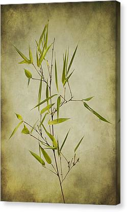 Black Bamboo Stem. Canvas Print by Clare Bambers