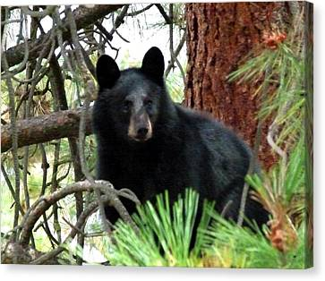 Black Bear 1 Canvas Print by Will Borden