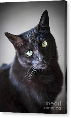 Black Cat Portrait Canvas Print by Elena Elisseeva