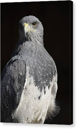 Black Chested Buzzard-eagle No 1 Canvas Print by Andy-Kim Moeller