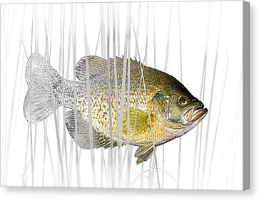 Black Crappie Pan Fish In The Reeds Canvas Print by Randall Nyhof