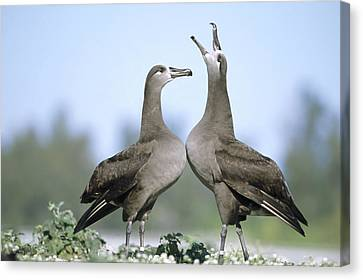 Black-footed Albatross Courtship Dance Canvas Print by Tui De Roy