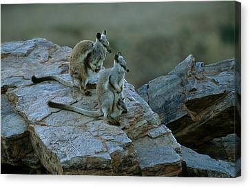 Black-footed Rock Wallabies Canvas Print by Bruce J Robinson