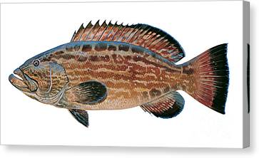 Black Grouper Canvas Print by Carey Chen