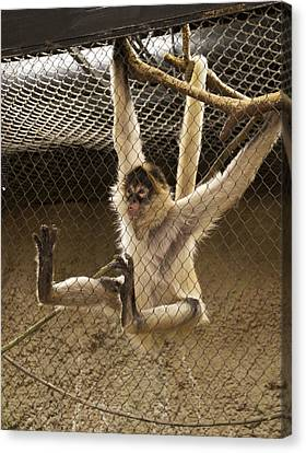 Black Handed Spider Monkey Just Sitting Around Canvas Print by Thomas Woolworth
