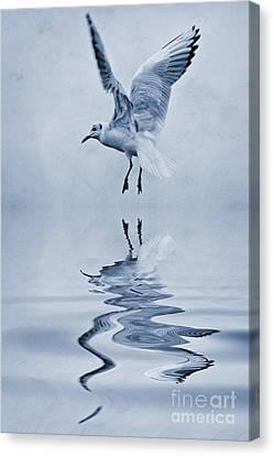 Black Headed Gull Cyanotype Canvas Print by John Edwards