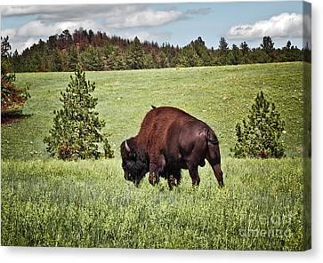 Black Hills Bull Bison Canvas Print by Robert Frederick