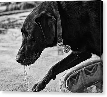 Black Lab Playing In Water Canvas Print by Robert Durbeck