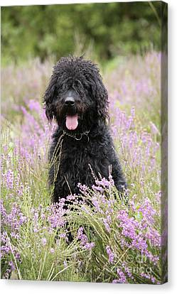 Black Labradoodle Canvas Print by John Daniels