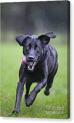 Black Labrador Running Canvas Print by Johan De Meester