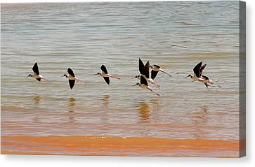 Black-necked Stilt - Lake Powell Canvas Print by Julie Niemela