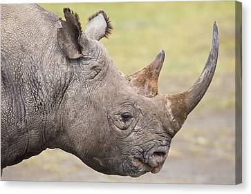 Black Rhino Great Rift Valley Kenya Canvas Print by Elliott Neep