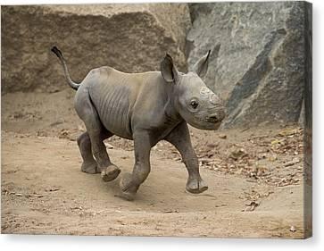 Black Rhinoceros Calf Running Canvas Print by San Diego Zoo
