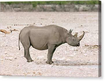 Black Rhinoceros Canvas Print by Simon Booth