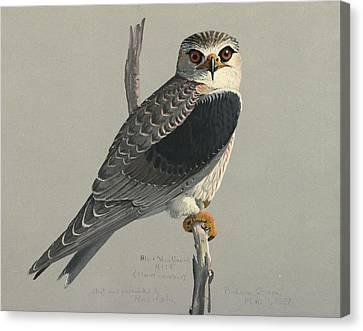 Black Shouldered Kite Canvas Print by Louis Agassiz Fuertes