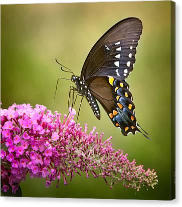Black Swallowtail Canvas Print by Bill Wakeley