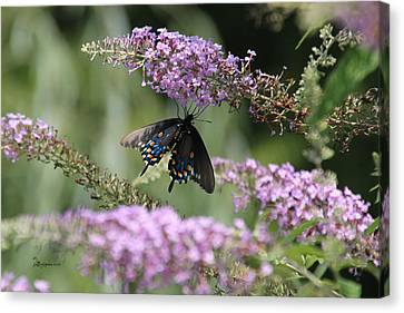 Black Swallowtail1-featured In Newbies-nature Wildlife- Digital Veil-comfortable Art Groups Groups Canvas Print by EricaMaxine  Price