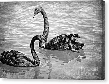 Black Swans - Black And White Textures Canvas Print by Carol Groenen