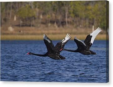 Black Swans In Flight Canvas Print by Mr Bennett Kent