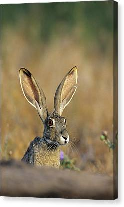 Black-tailed Jack Rabbit (lepus Canvas Print by Richard and Susan Day