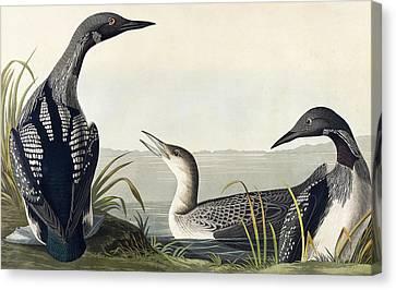Black Throated Diver  Canvas Print by John James Audubon