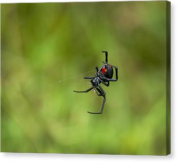 Black Widow Spider With Red Hour Glass Canvas Print by Kathy Clark