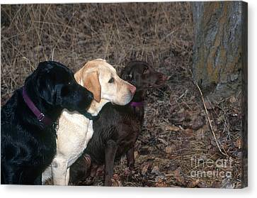 Black, Yellow And Chocolate Labs Canvas Print by William H. Mullins