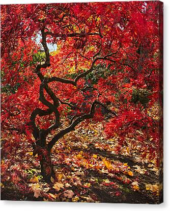 Blazing Japanese Maple Canvas Print by Angie Vogel